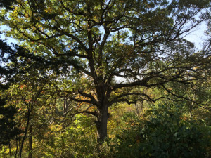 PHOTO BY MIKE MILLER This ancient White Oak, pictured here in early October, grows at Oak Bluff Savanna Nature Preserve in Marshall County west of the town of Henry.