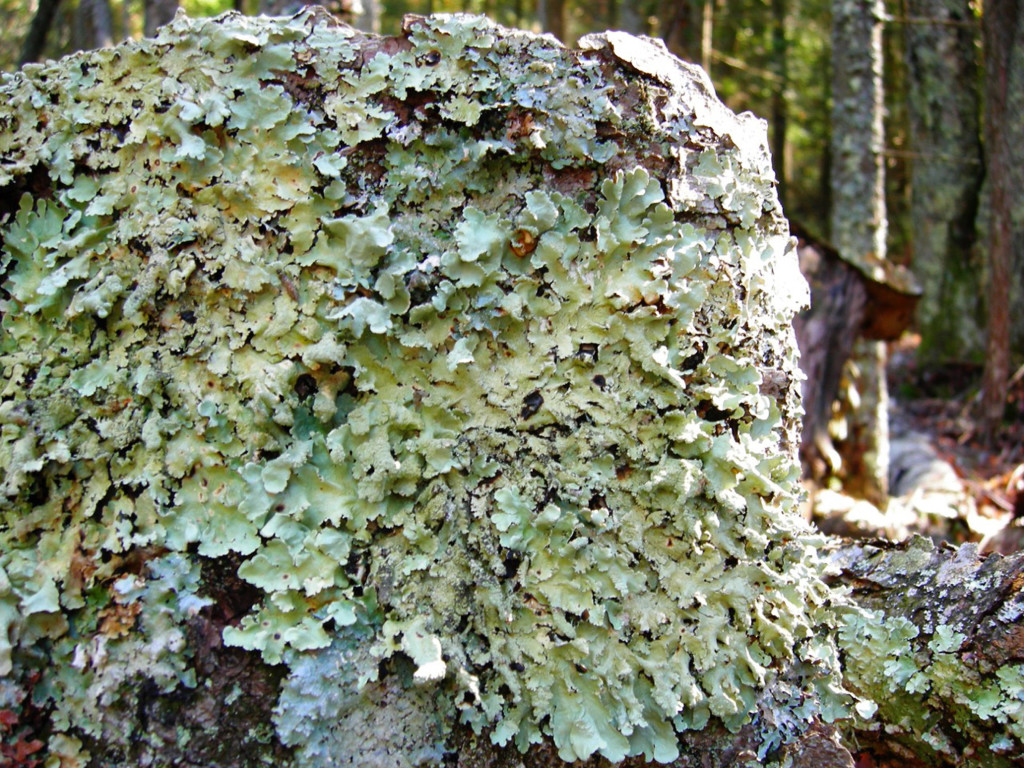 PHOTO BY MIKE MILLER Lichen grows on a downed tree truck.