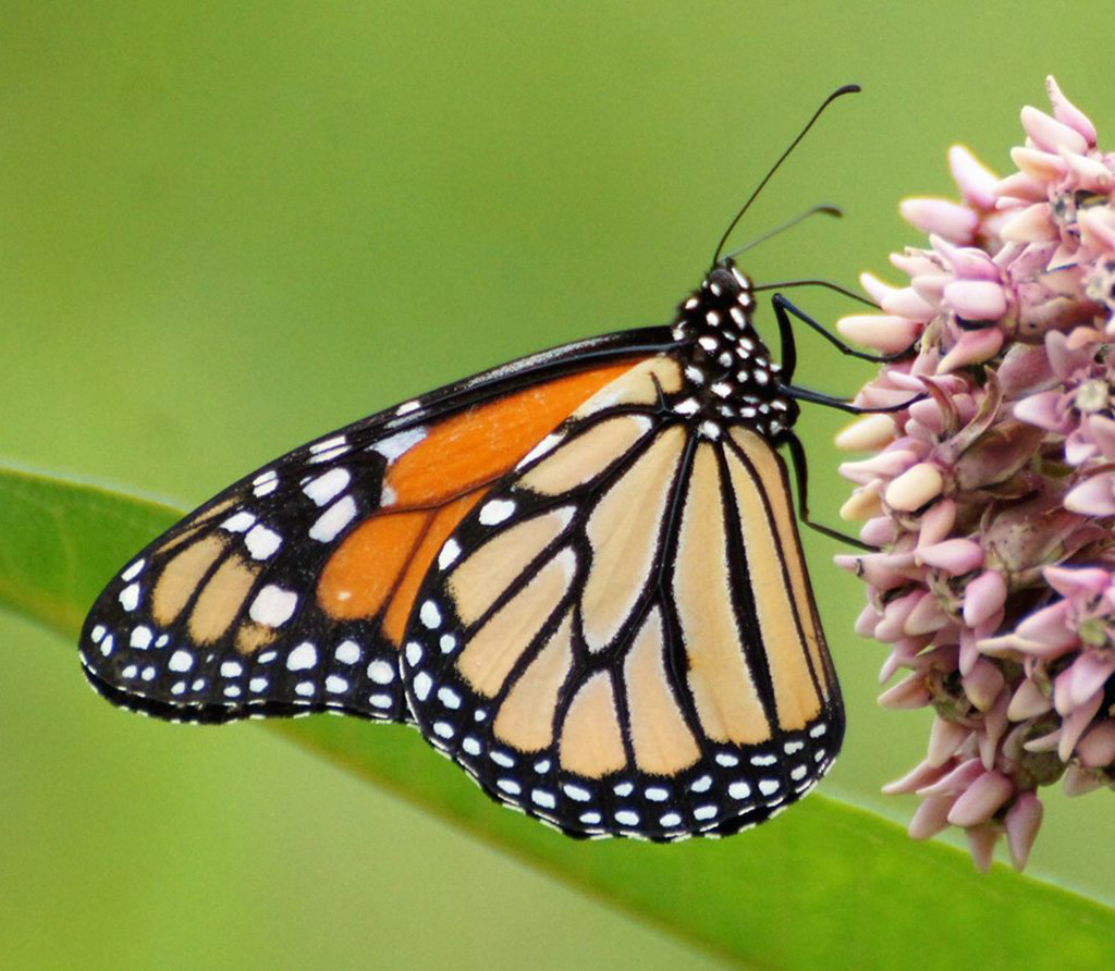PHOTO BY MIKE INGRAM Monarch butterfly alights on a flowering Common Milkweed at Tawny Oaks Nature Preserve in Peoria.